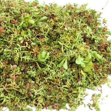sedumstekken voor groendaken