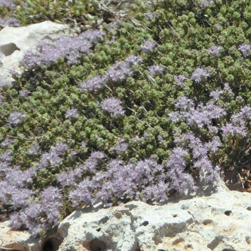 thymus praecox albiflorus
